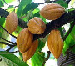 Cacao Chocolate Tree Pods